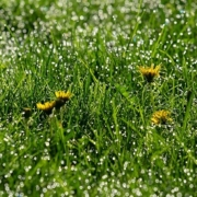 Unkraut aus dem Rasen entfernen